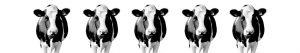 Koeien op keuken achterwand